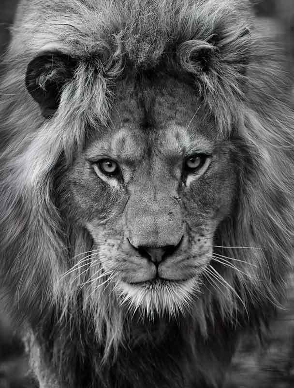 Quadro Leão em Preto