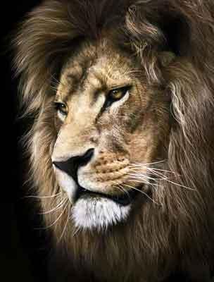 Quadro Perfil de Leão