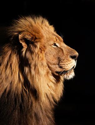 Quadro Leão Destemido