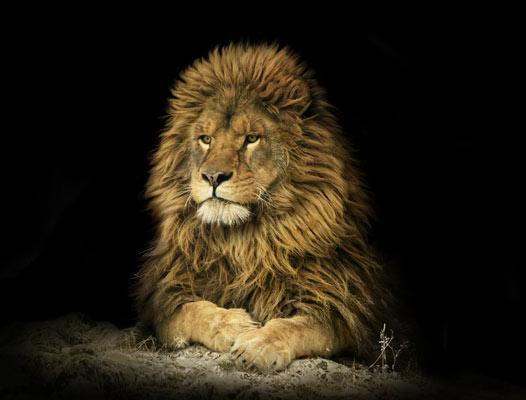 Quadro Atenção de Leão