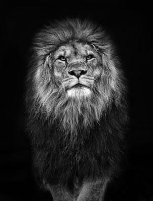 Quadro O Olhar do Leão
